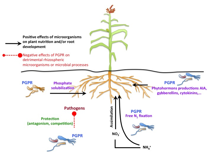 thesis on plant growth promoting rhizobacteria Plant growth-promoting rhizobacteria (pgpr) are the rhizosphere bacteria that can enhance plant growth by a wide variety of mechanisms like phosphate solubilization.